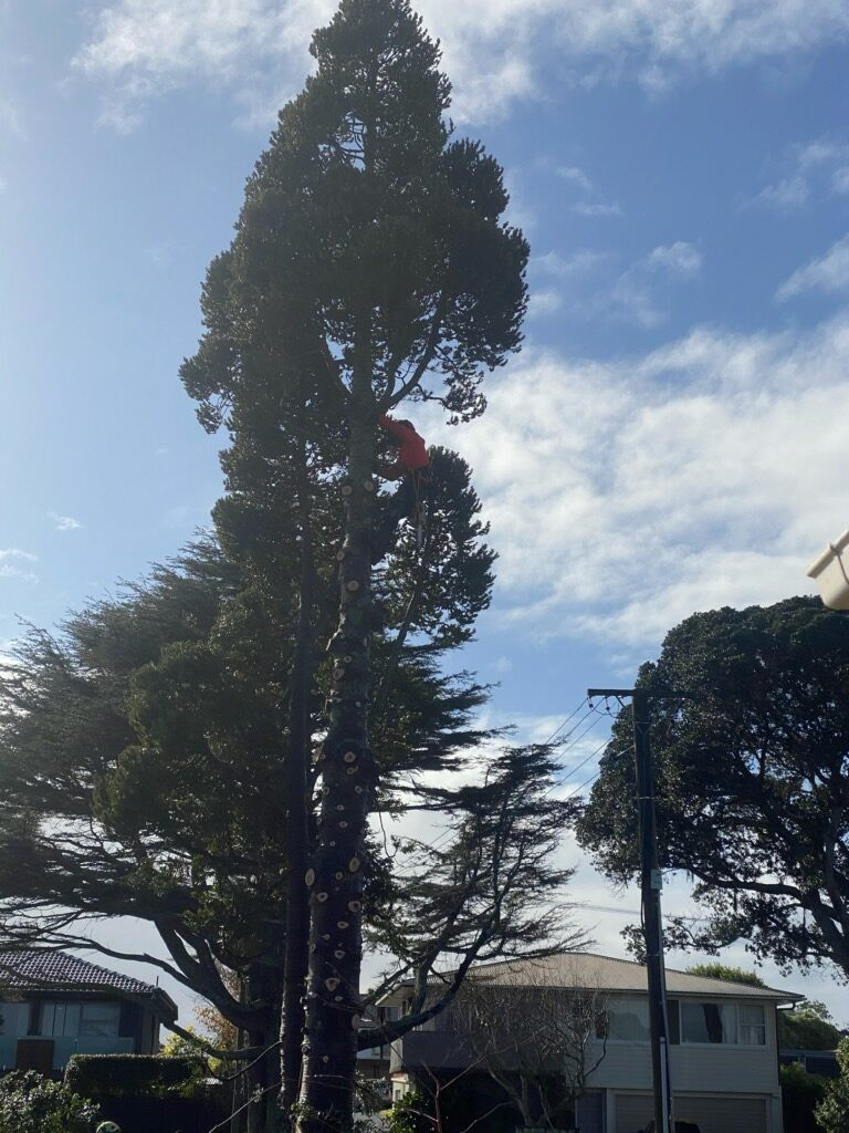 cheap tree removal west auckland